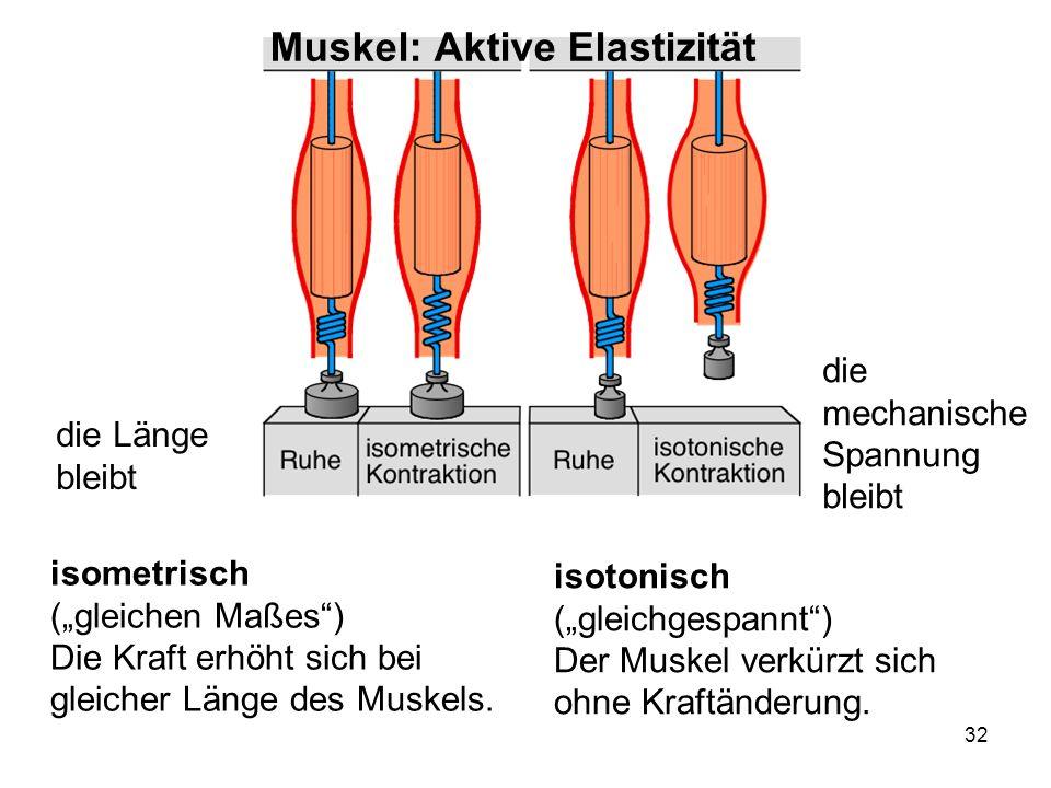 Muskel: Aktive Elastizität