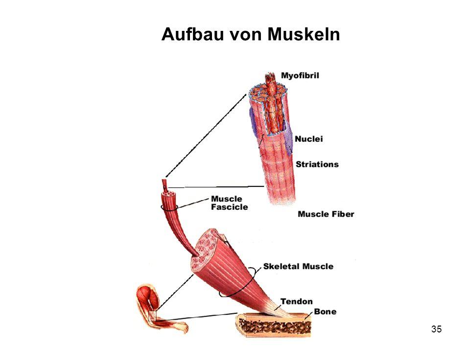 Aufbau von Muskeln