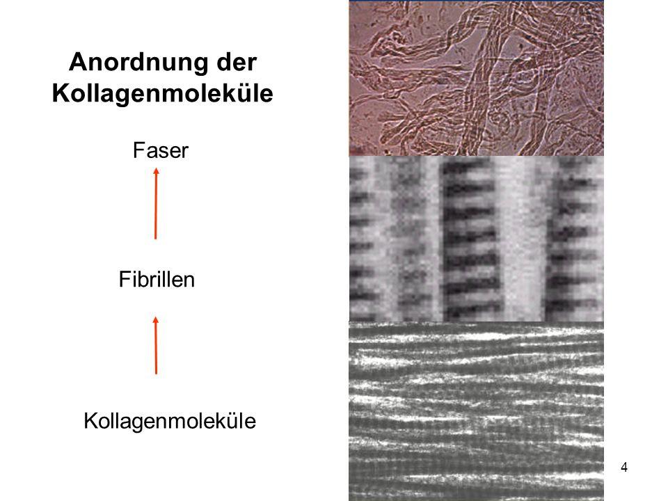 Anordnung der Kollagenmoleküle