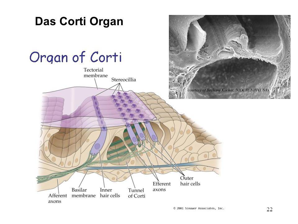 Das Corti Organ