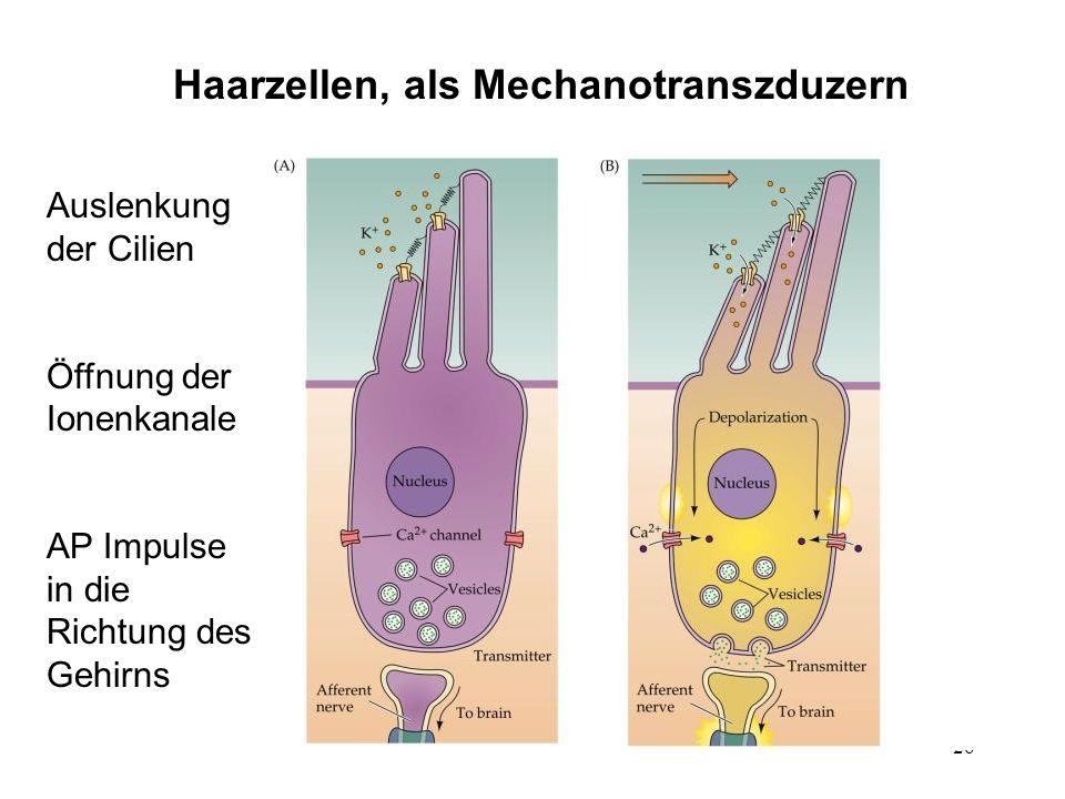 Haarzellen, als Mechanotranszduzern