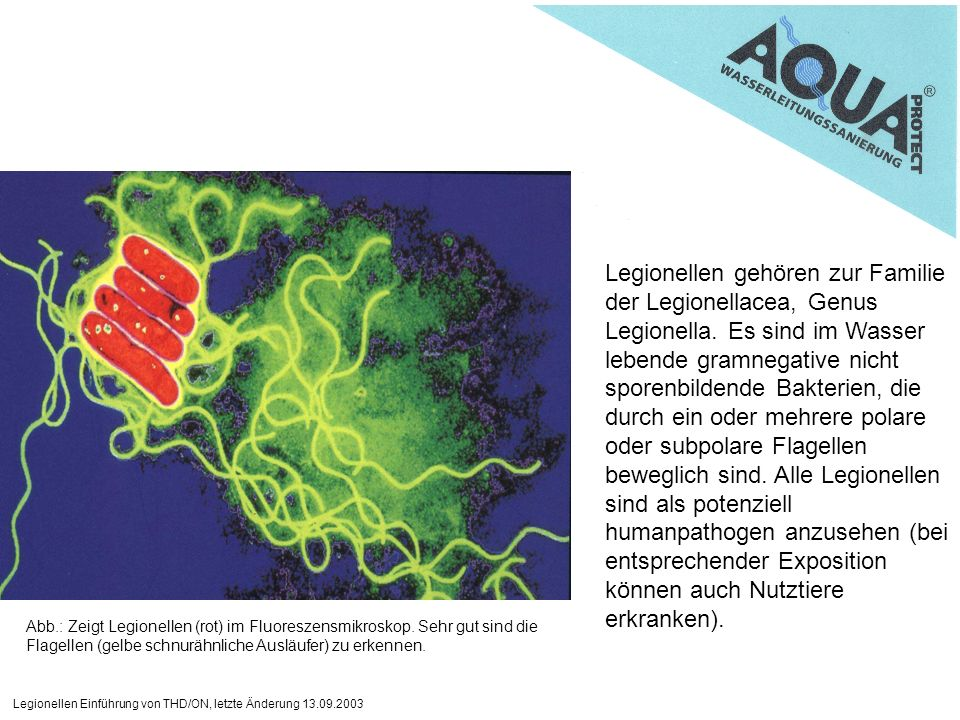 Legionellen gehören zur Familie der Legionellacea, Genus Legionella