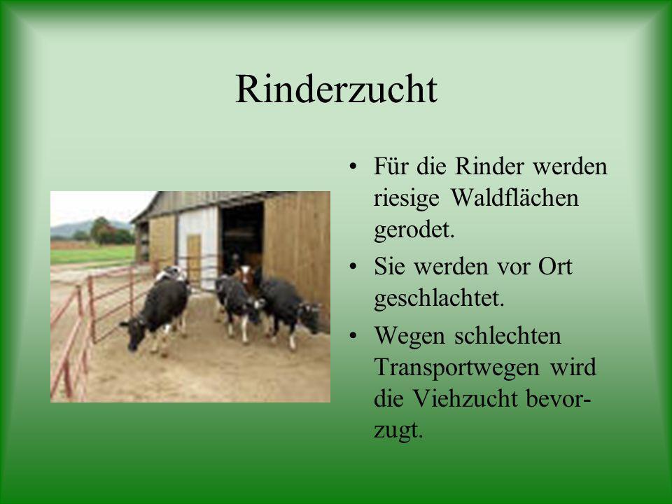 Rinderzucht Für die Rinder werden riesige Waldflächen gerodet.
