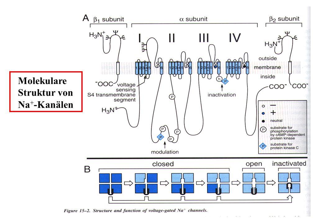 Molekulare Struktur von Na+-Kanälen