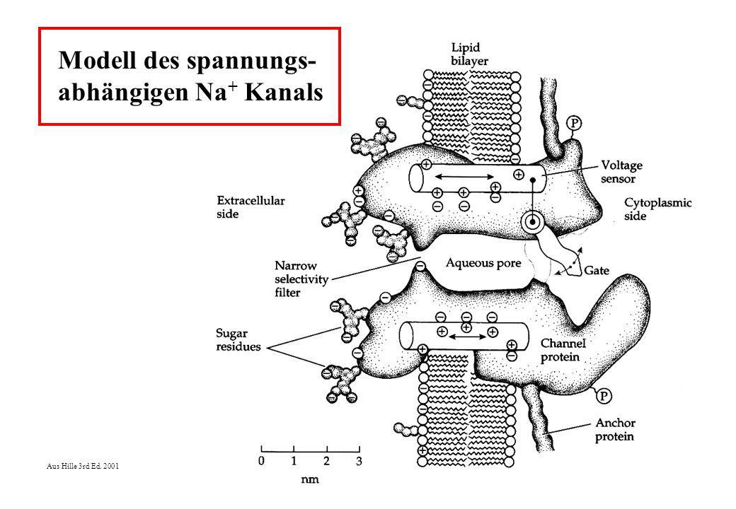 Modell des spannungs- abhängigen Na+ Kanals Aus Hille 3rd Ed. 2001