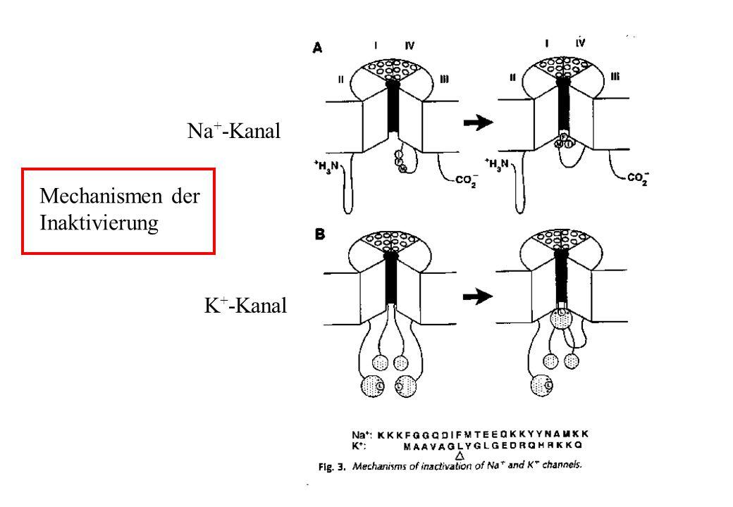 Na+-Kanal Mechanismen der Inaktivierung K+-Kanal