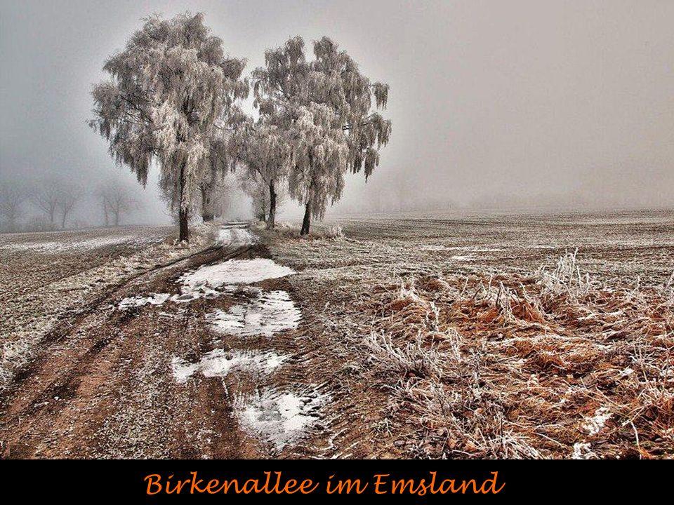Birkenallee im Emsland