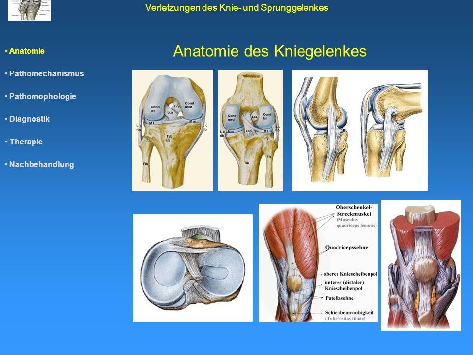 Anatomie des Kniegelenkes