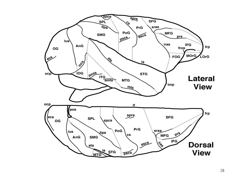 Cerebral Cortex http://rprcsgi.rprc.washington.edu/~atlas