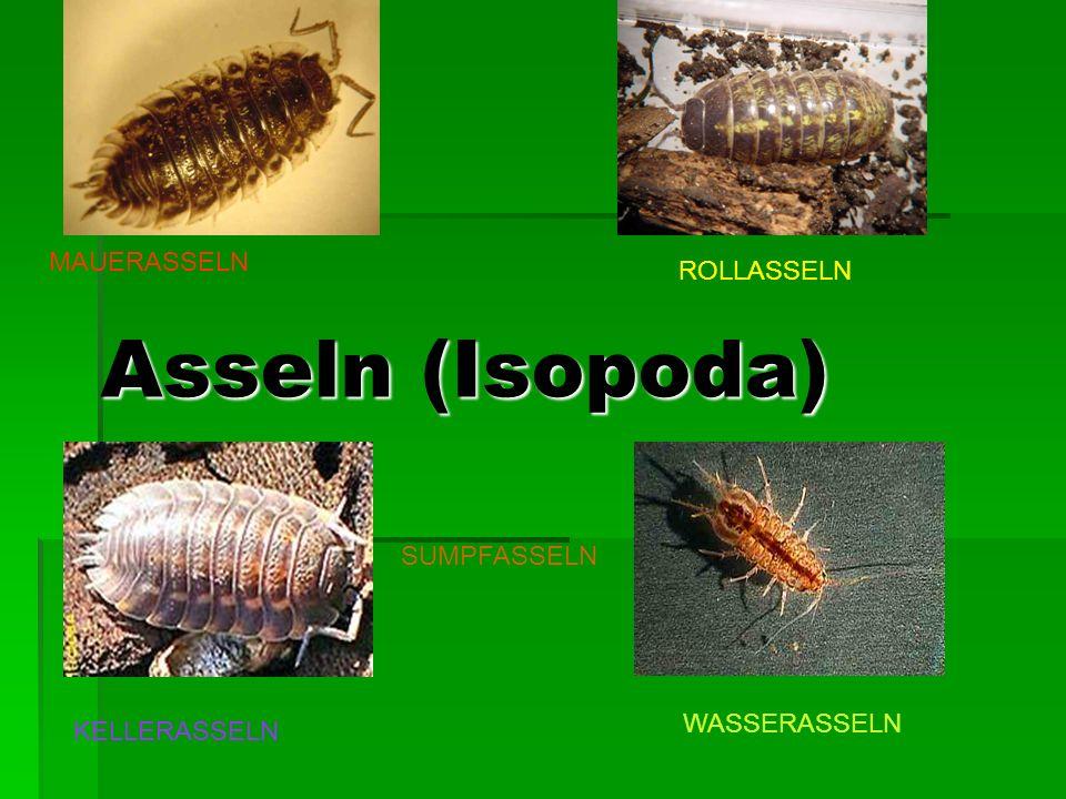 Asseln (Isopoda) MAUERASSELN ROLLASSELN SUMPFASSELN WASSERASSELN