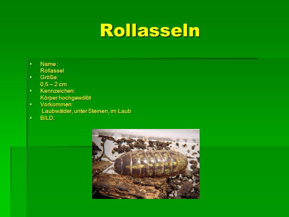 Rollasseln Name : Rollassel Größe: 0,5 – 2 cm Kennzeichen: