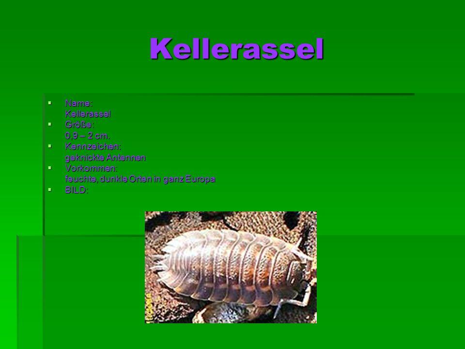 Kellerassel Name: Kellerassel Größe: 0,9 – 2 cm. Kennzeichen: