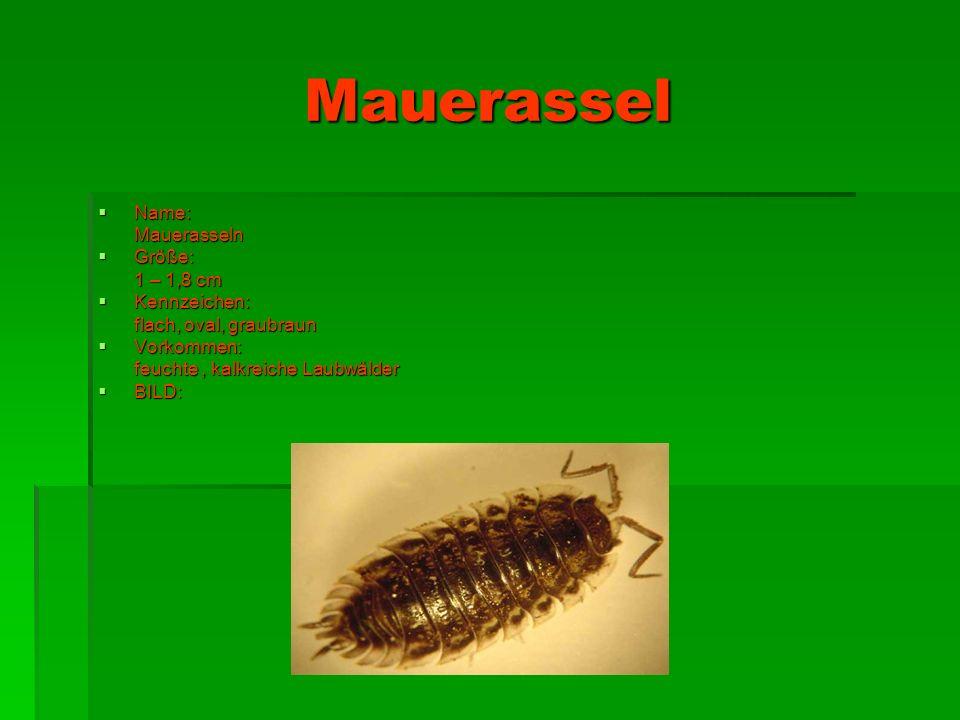 Mauerassel Name: Mauerasseln Größe: 1 – 1,8 cm Kennzeichen: