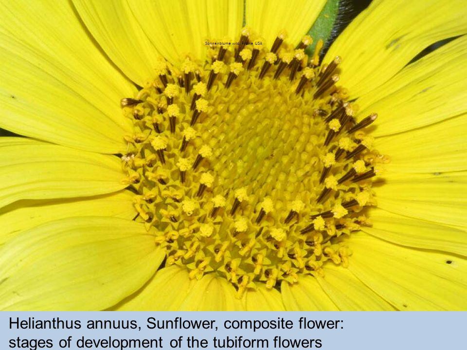Sonnenblume wild, Prairie USA