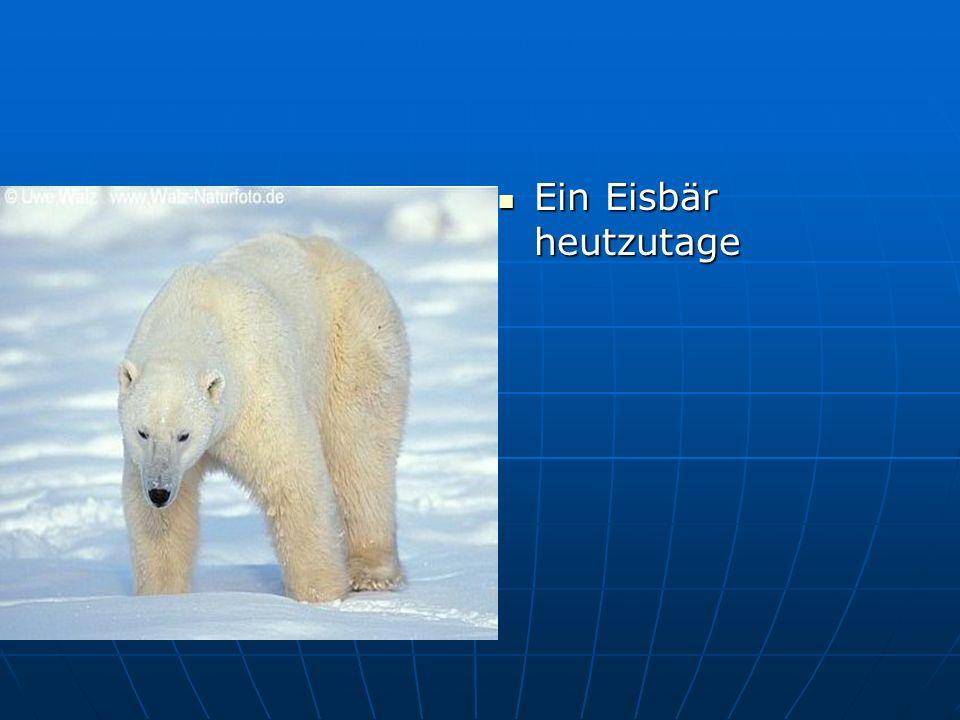 Ein Eisbär heutzutage