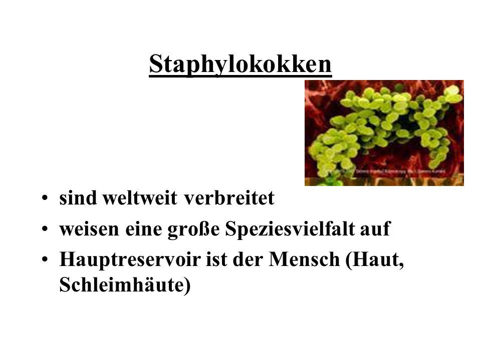 Staphylokokken sind weltweit verbreitet