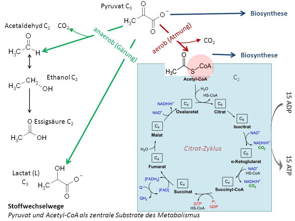 Pyruvat und Acetyl-CoA als zentrale Substrate des Metabolismus