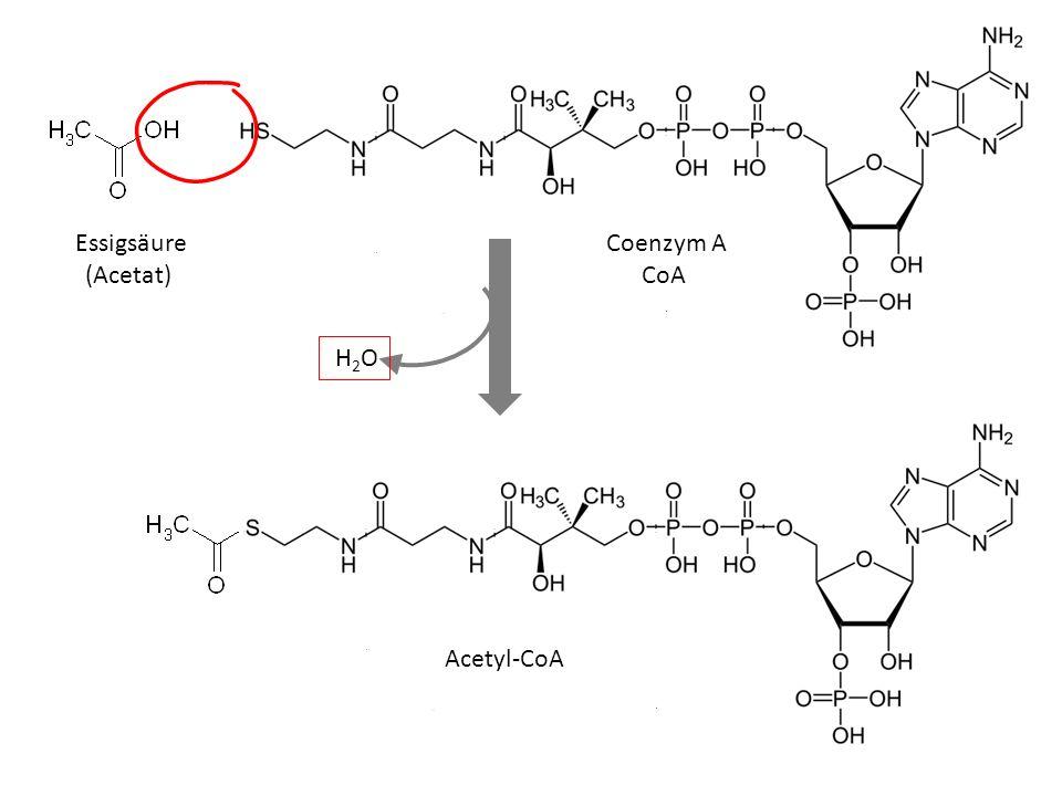 Essigsäure (Acetat) Coenzym A CoA H2O Acetyl-CoA