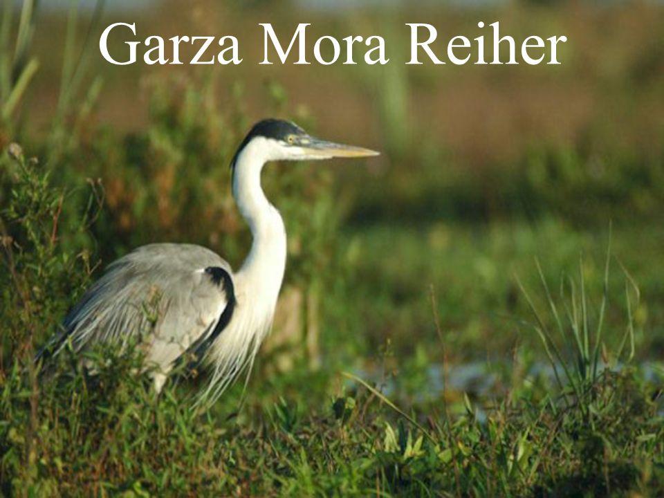 Garza Mora Reiher