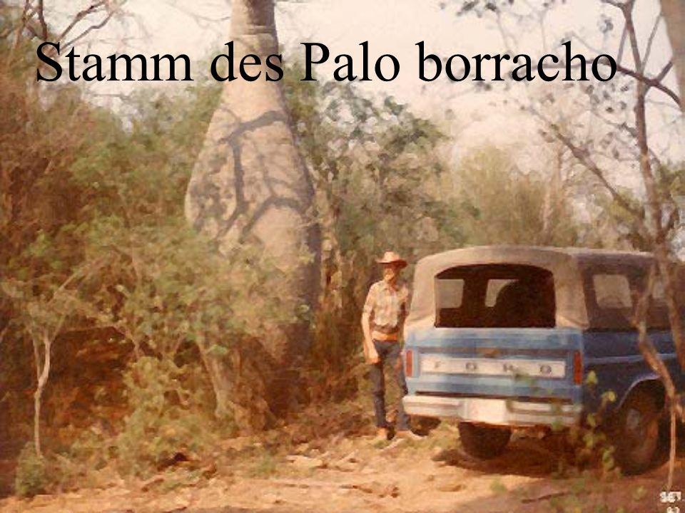 Stamm des Palo borracho