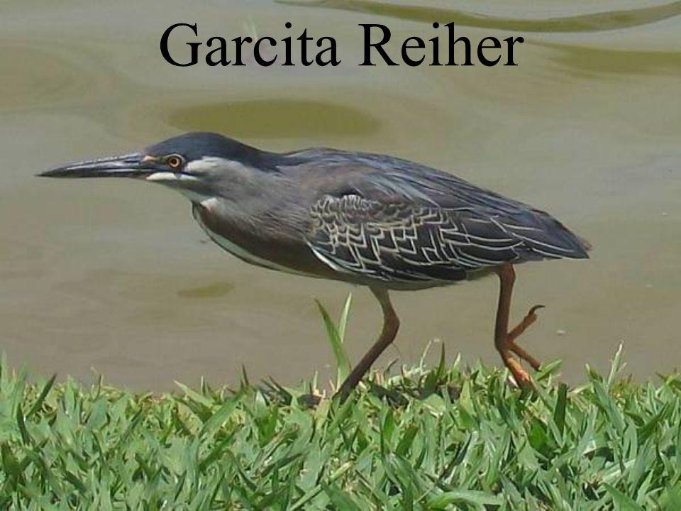 Garcita Reiher