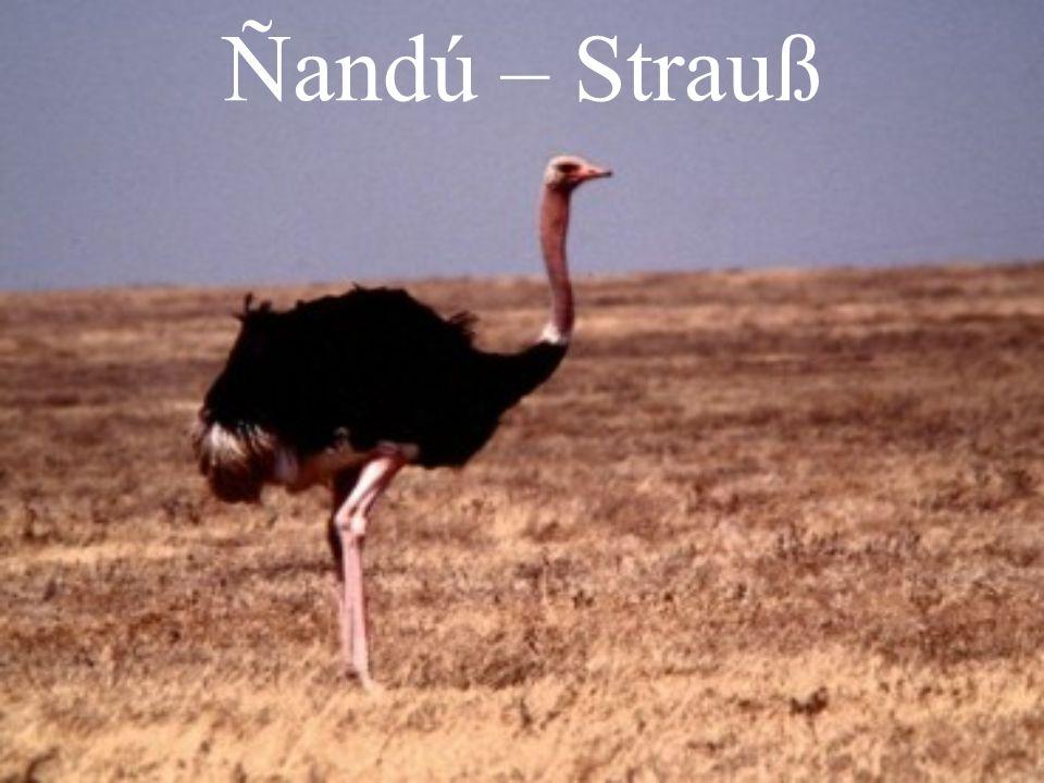 Ñandú – Strauß