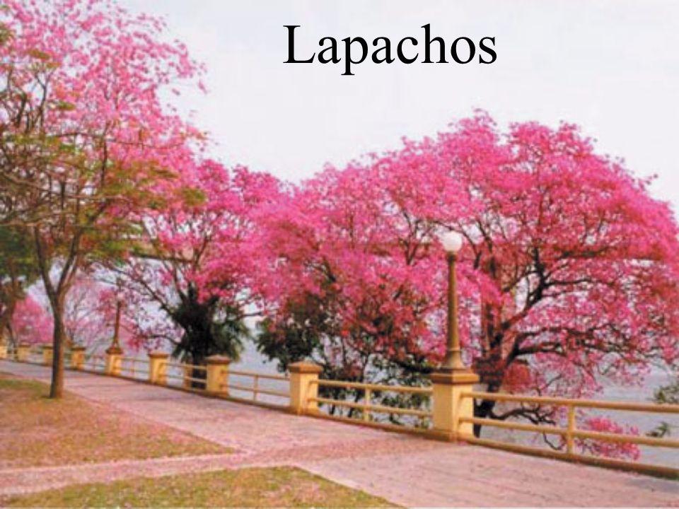 Lapachos