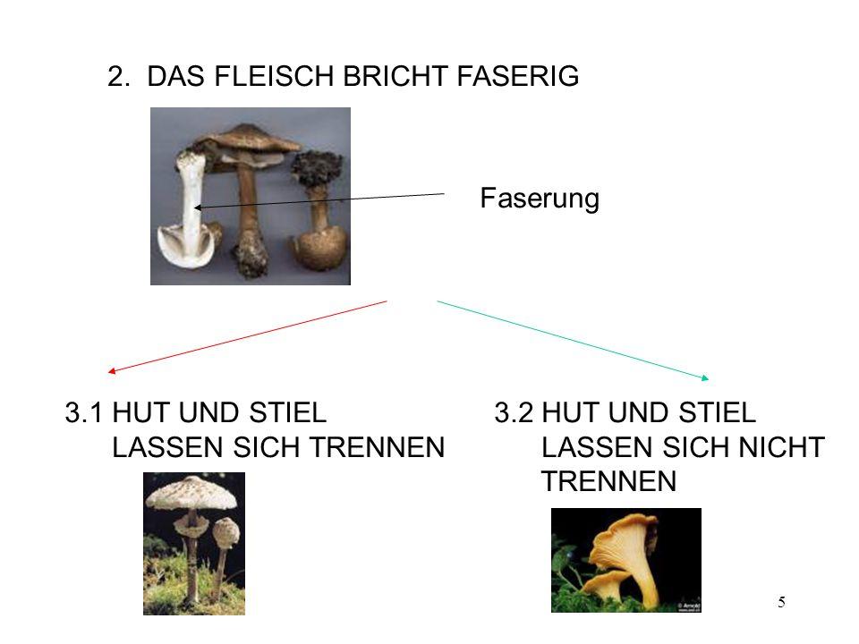 2. DAS FLEISCH BRICHT FASERIG