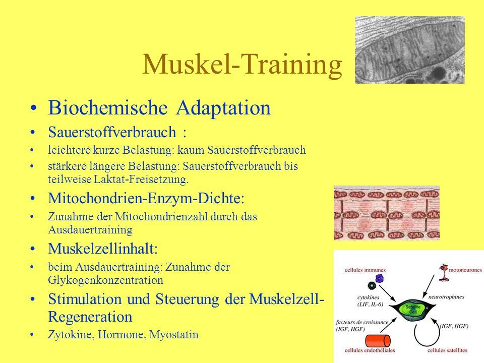 Muskel-Training Biochemische Adaptation Sauerstoffverbrauch :