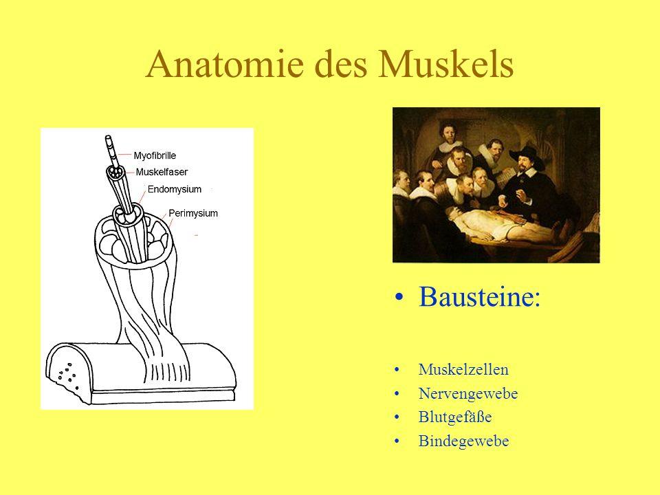 Anatomie des Muskels Bausteine: Muskelzellen Nervengewebe Blutgefäße
