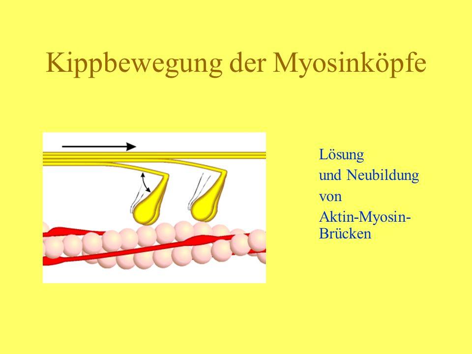 Kippbewegung der Myosinköpfe