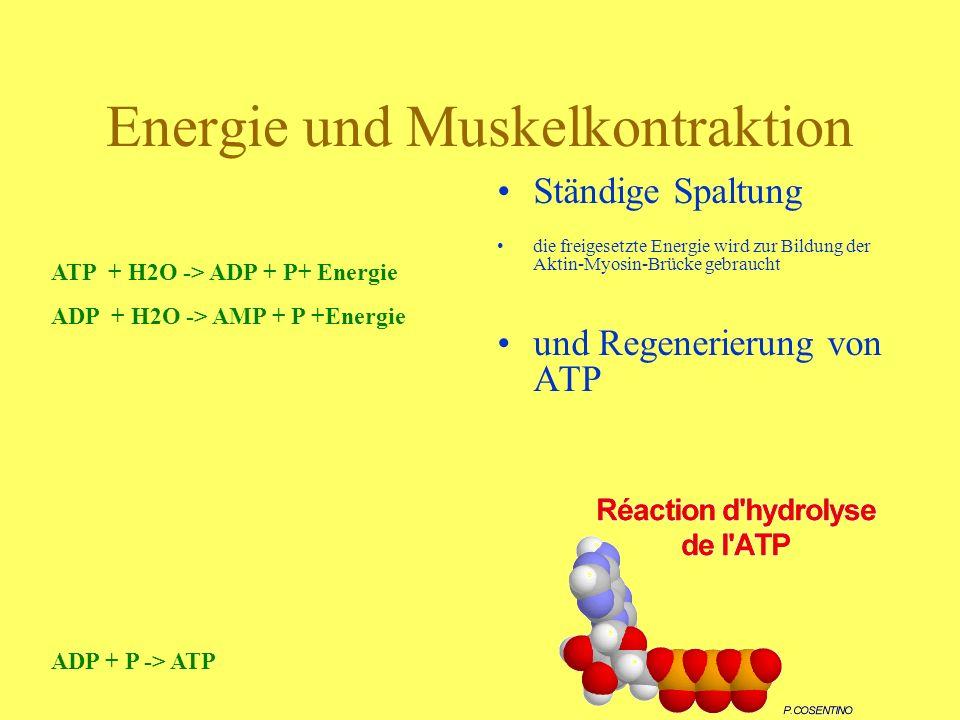 Energie und Muskelkontraktion