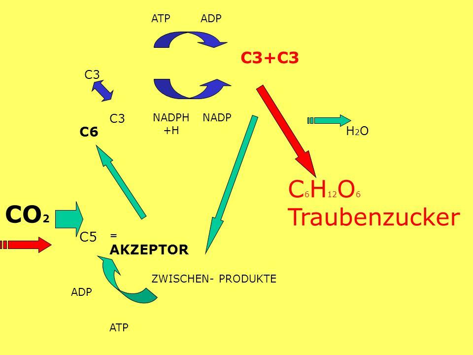 C6H12O6 Traubenzucker CO2 C3+C3 C6 C5 C3 H2O ATP ADP NADPH+H NADP