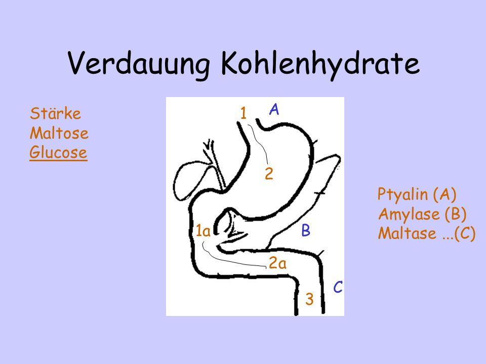 Verdauung Kohlenhydrate