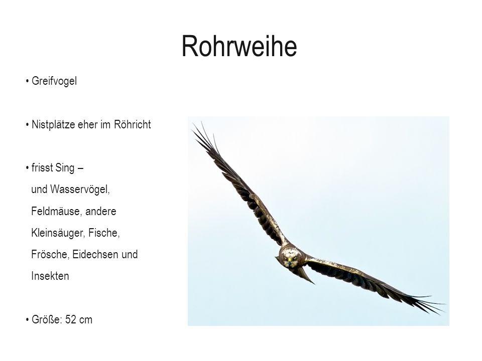 Rohrweihe Greifvogel Nistplätze eher im Röhricht frisst Sing –