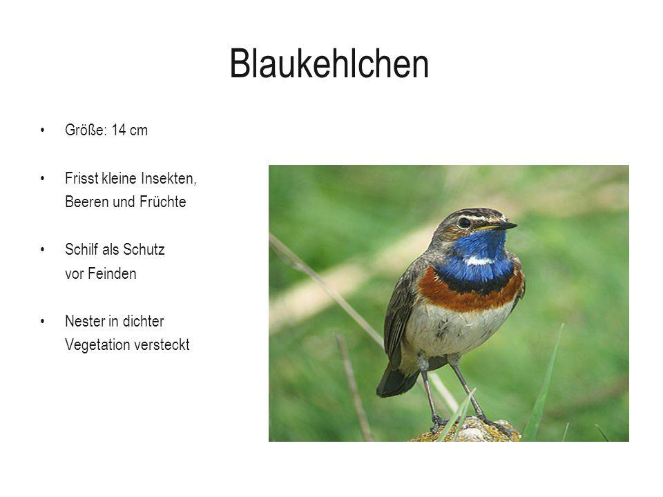 Blaukehlchen Größe: 14 cm Frisst kleine Insekten, Beeren und Früchte