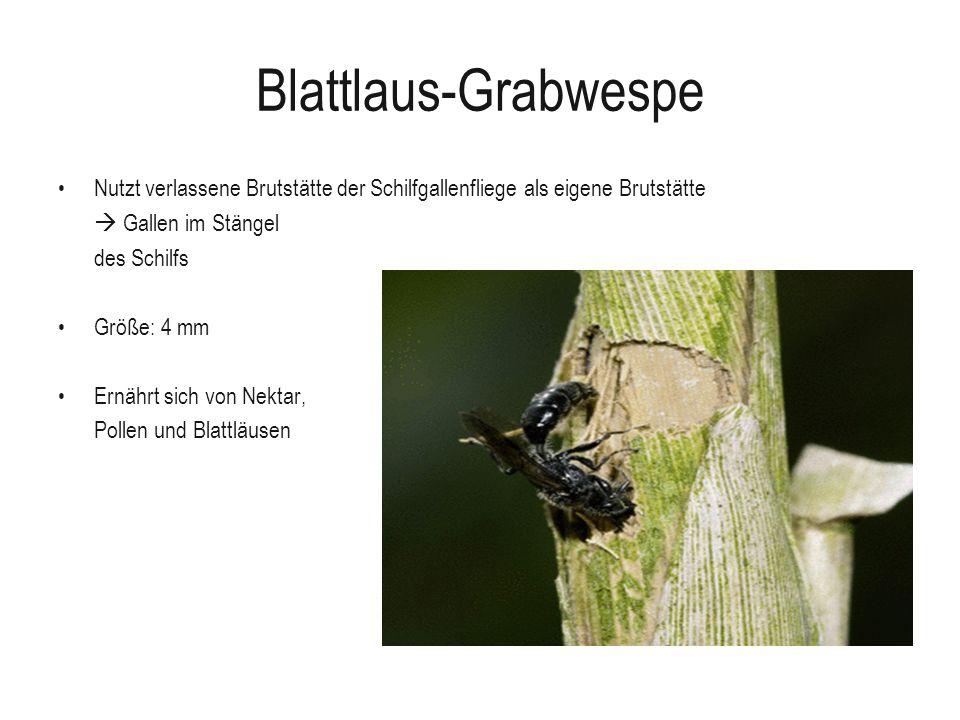 Blattlaus-Grabwespe Nutzt verlassene Brutstätte der Schilfgallenfliege als eigene Brutstätte.  Gallen im Stängel.