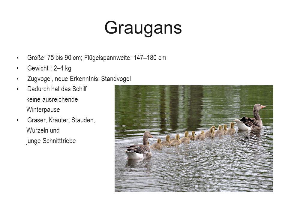 Graugans Größe: 75 bis 90 cm; Flügelspannweite: 147–180 cm