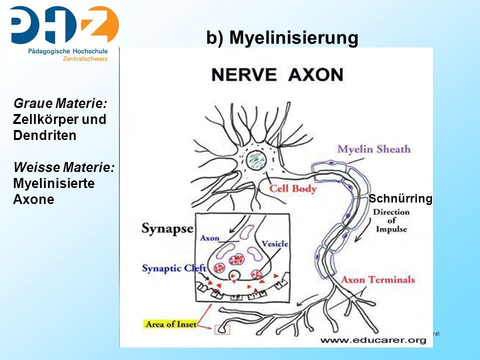 b) Myelinisierung Graue Materie: Zellkörper und Dendriten