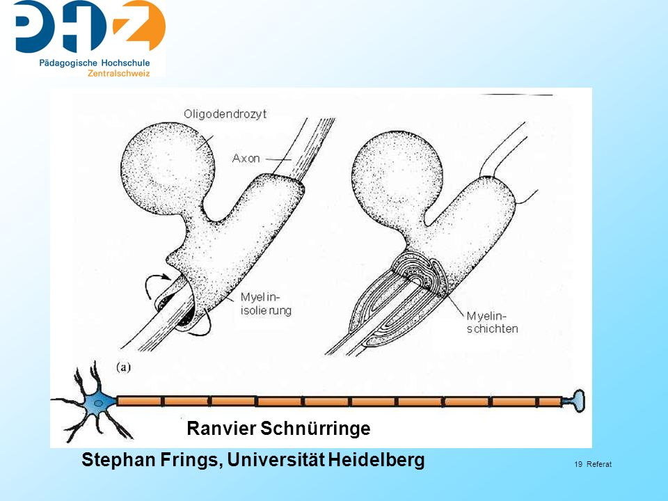 Ranvier Schnürringe Stephan Frings, Universität Heidelberg