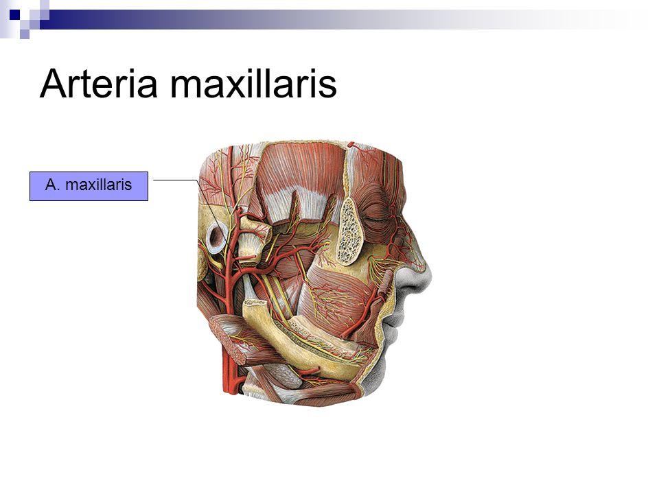 Arteria maxillaris A. maxillaris