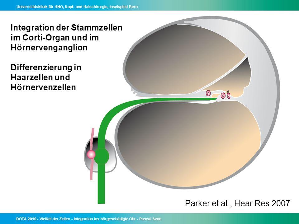 Integration der Stammzellen im Corti-Organ und im Hörnervenganglion Differenzierung in Haarzellen und Hörnervenzellen