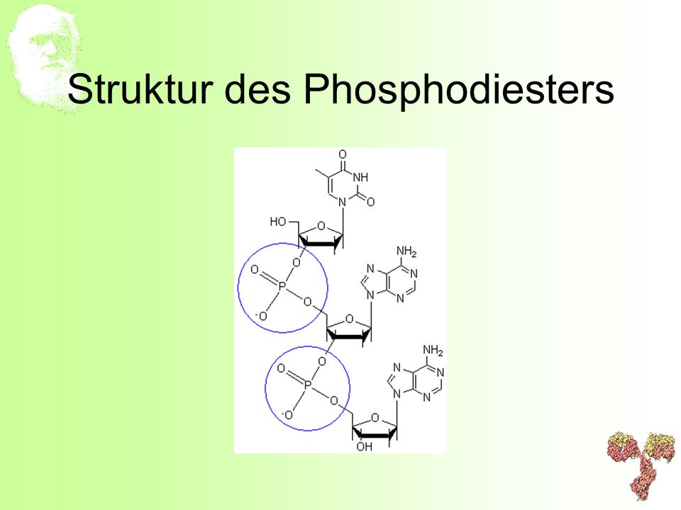 Struktur des Phosphodiesters