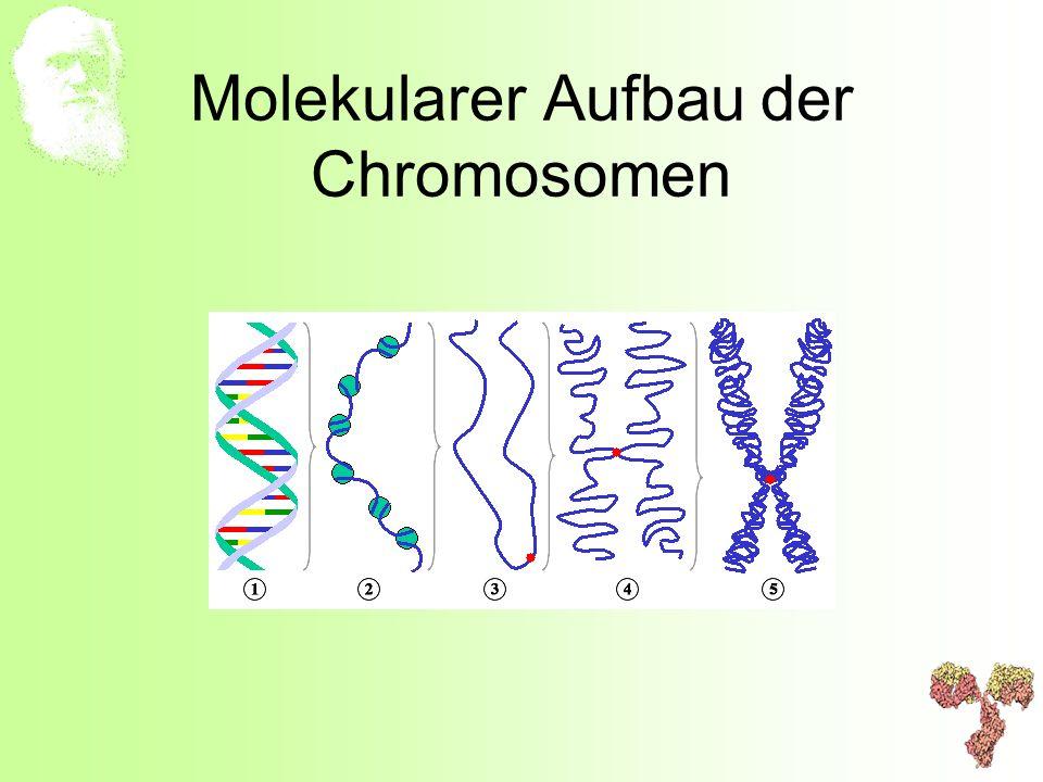 Molekularer Aufbau der Chromosomen