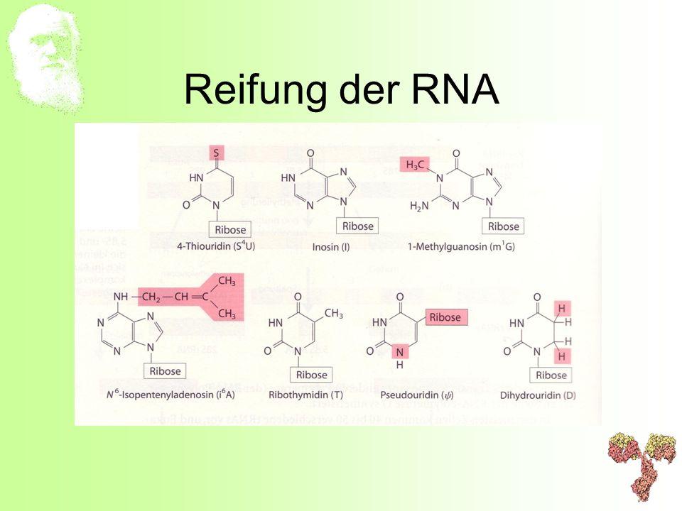 Reifung der RNA