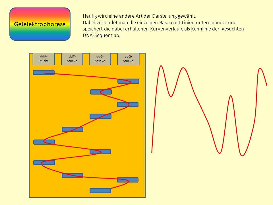 Gelelektrophorese Häufig wird eine andere Art der Darstellung gewählt.