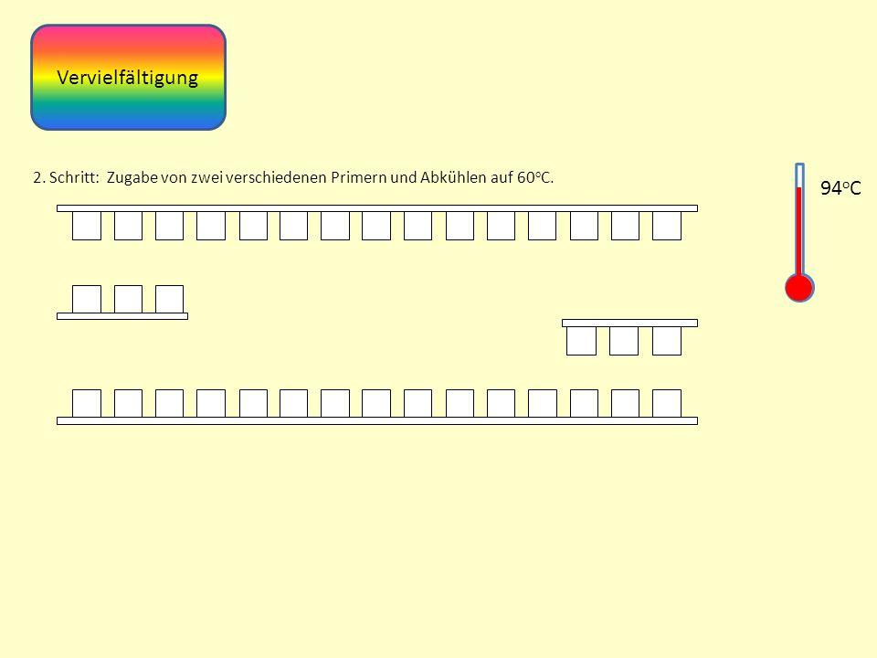 Vervielfältigung 2. Schritt: Zugabe von zwei verschiedenen Primern und Abkühlen auf 60oC. 94oC