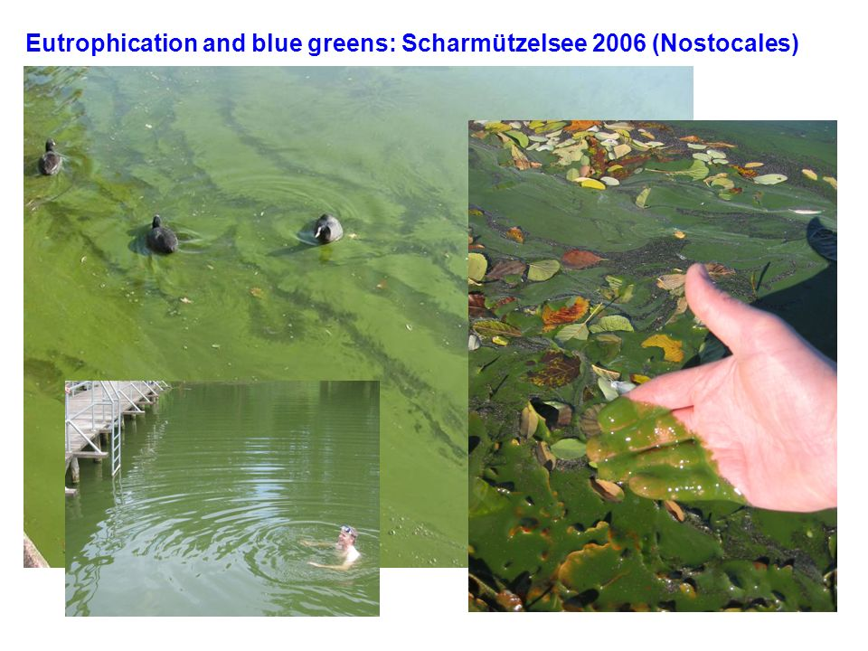 Eutrophication and blue greens: Scharmützelsee 2006 (Nostocales)