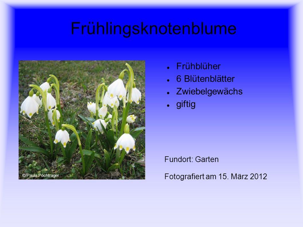 Frühlingsknotenblume