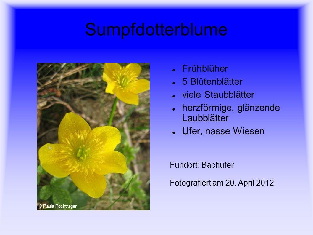 Sumpfdotterblume Frühblüher 5 Blütenblätter viele Staubblätter
